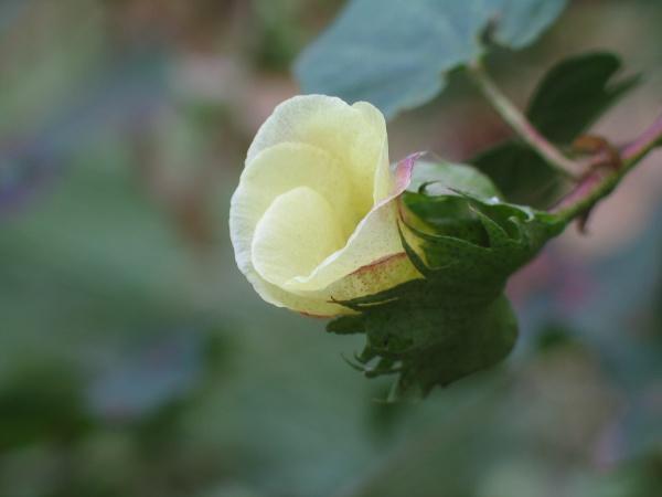 фото хлопок цветок