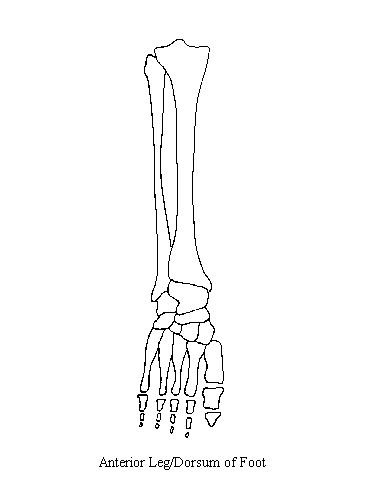 anteriorleg blank arm diagram #12