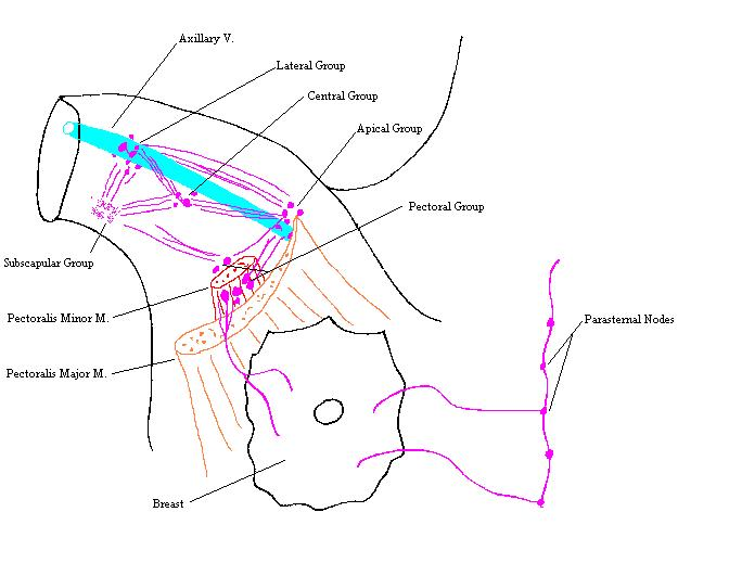 Axillary Lymph Nodes (Completed Diagram)