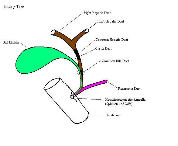 biliarytreecomplete : biliary tree diagram - findchart.co