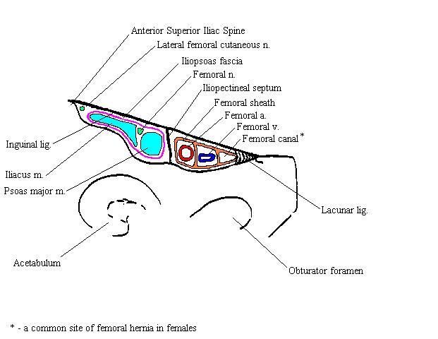 femoralcanalcomplete