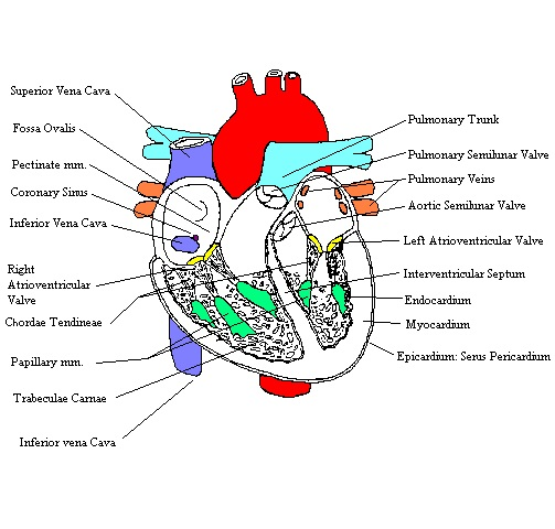 Heartcomplete a completed diagram of the internal structures of the heart ccuart Choice Image