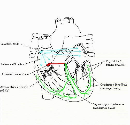 Heartconductioncomplete a completed diagram of the conduction system of the heart ccuart Images