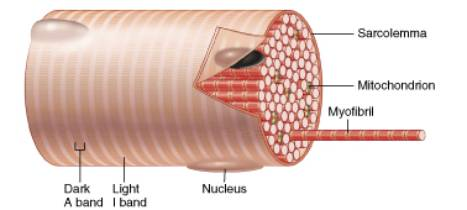 histology of muscle, Muscles