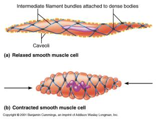 Smooth muscle cells do...