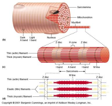 histology of muscle, Human Body