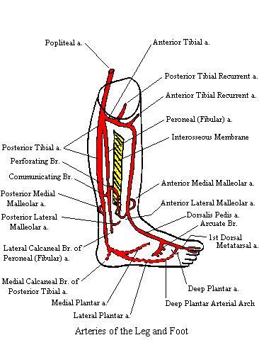 LegArteriesComplete