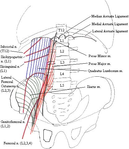 Posteriorabdominalwallcomplete a completed diagram of the muscles of the posterior abdominal wall and terminal nerves of the ccuart Images